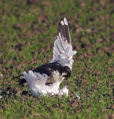 pajaro atacando vuelo