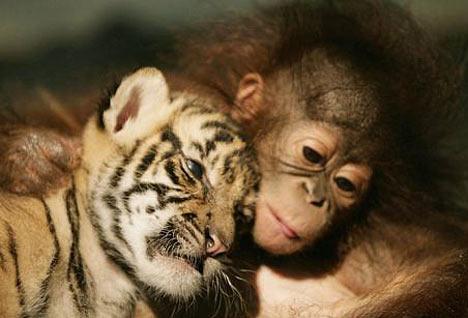 tigre sumatra orangutan