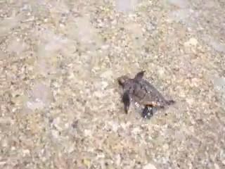 tortuga marina carrera mar agua