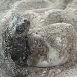 Nacimiento de tortugas marinas y carrera hacia el mar