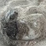 tortuga marina eclosion huevo