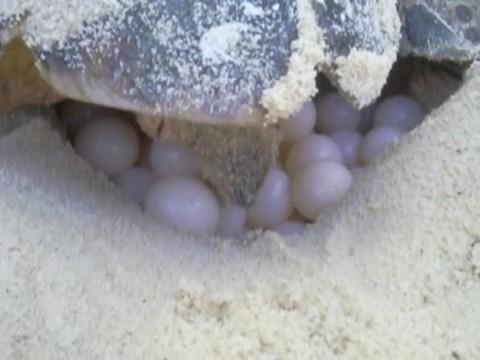 tortuga marina poniendo huevos desovando