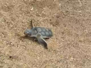 tortuga marina saliendo arena
