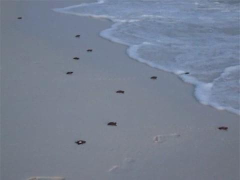 tortugas marinas carrera mar agua