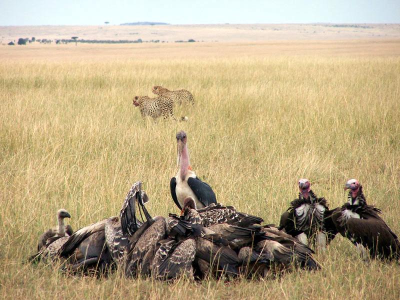 buitres carrona comiendo grupo