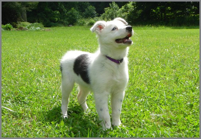 chaser border collie cachorro