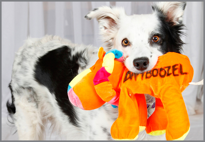 chaser border collie juguete