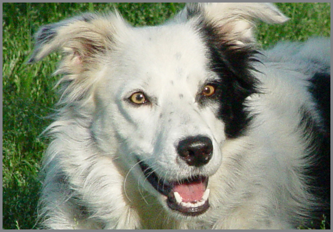 chaser border collie perro entiende palabras