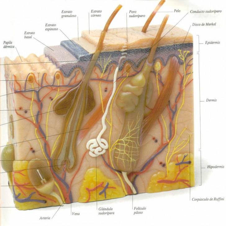 dermis epidermis sudor calor