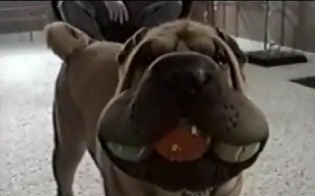 imagenes humor perro pelotas boca