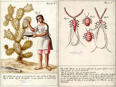 Dactylopius coccus costa cochinilla colorante