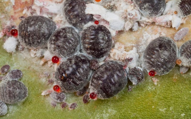 Dactylopius coccus costa cochinilla e-120