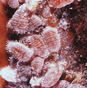 Dactylopius coccus costa cochinilla rojo