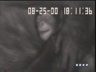 chimpances sueno bebes rien