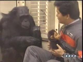 documental ai bebe chimpances inteligencia 04
