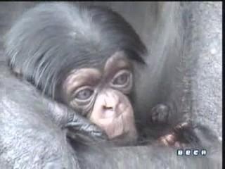 documental ai bebe chimpances inteligencia 05