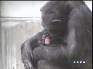 documental ai bebe chimpances inteligencia 06