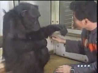 documental ai bebe chimpances inteligencia 07