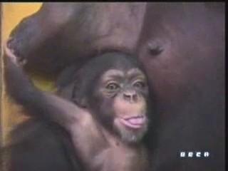documental ai bebe chimpances inteligencia 08