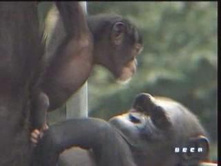 documental ai bebe chimpances inteligencia 09