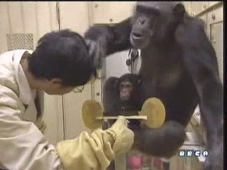 documental ai bebe chimpances inteligencia 11