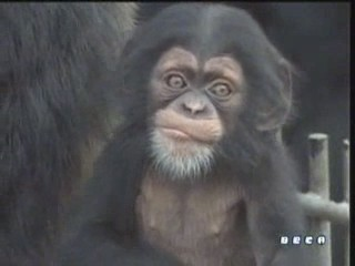 documental ai bebe chimpances inteligencia 14