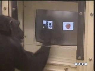 documental ai bebe chimpances inteligencia 15