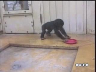 documental ai bebe chimpances inteligencia 17