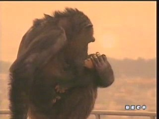 documental ai bebe chimpances inteligencia 18