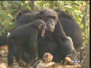 documental ai bebe chimpances inteligencia 23