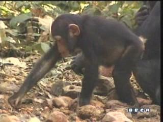 documental ai bebe chimpances inteligencia 24