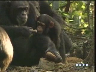 documental ai bebe chimpances inteligencia 25
