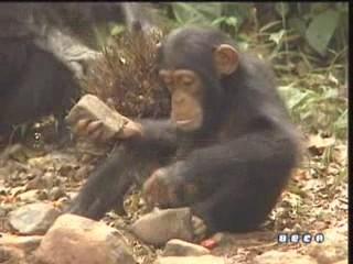 documental ai bebe chimpances inteligencia 26
