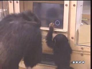 documental ai bebe chimpances inteligencia 28