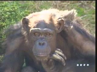 documental ai bebe chimpances inteligencia 29