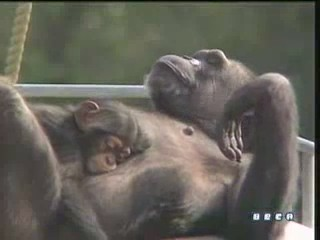 documental ai bebe chimpances inteligencia 31