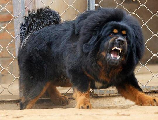 dog tibetan mastiff perro mastin tibetano
