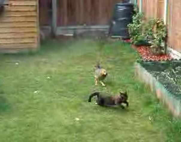 gallina peleando gato pelea