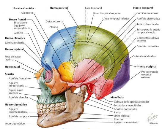huesos craneo cabeza esqueleto