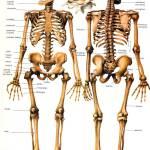 ¿De cuántos huesos consta el cuerpo humano?