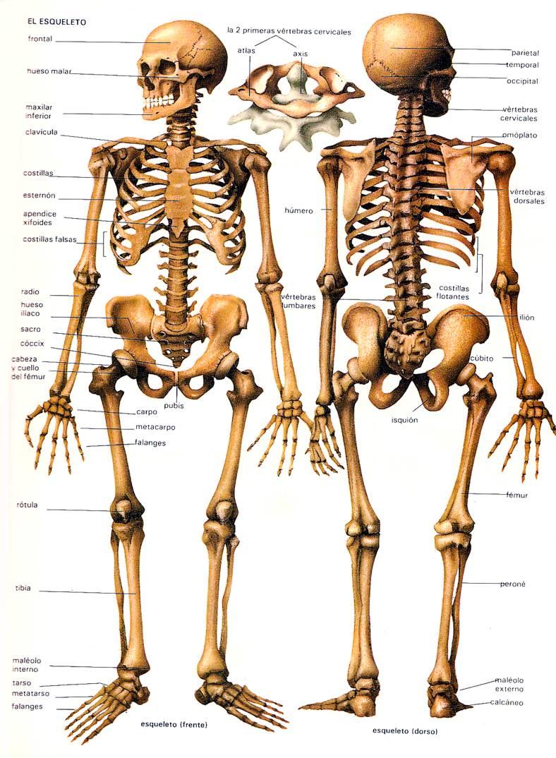 huesos cuerpo humano esqueleto