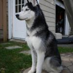 Mishka, el husky que habla, responde a tus preguntas