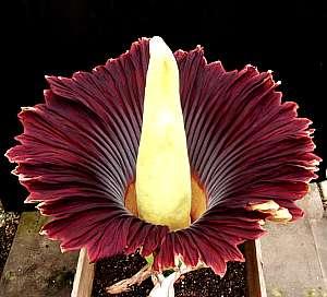Amorphophallus titanum flor pestilente