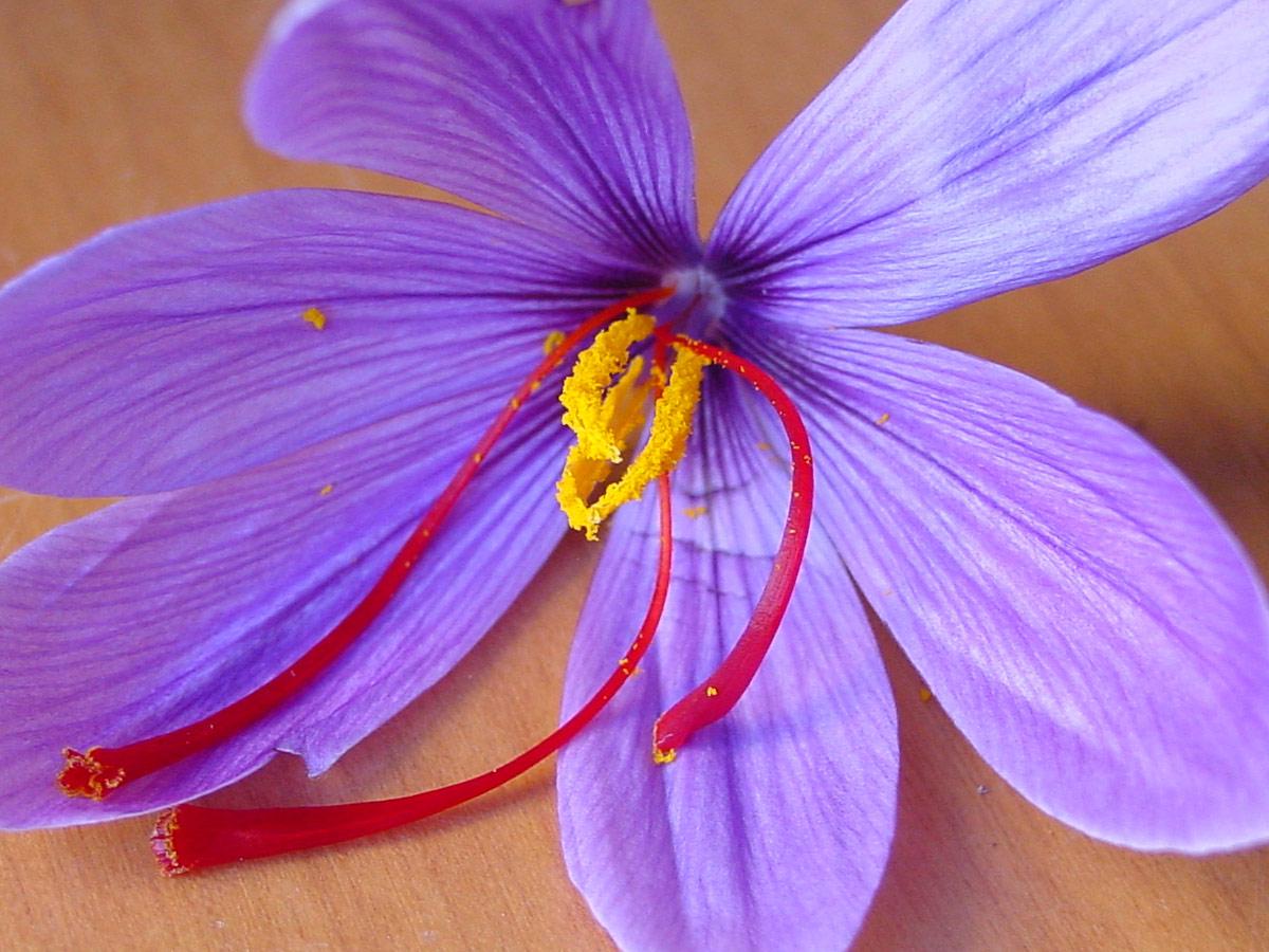 Flor de Azafran rosa