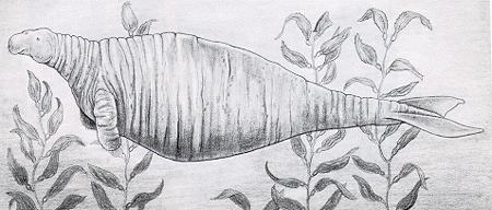 Hydrodamalis gigas vaca marina steller