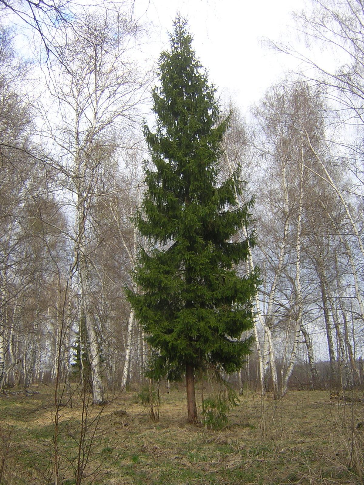 Picea arbol antiguo longevo
