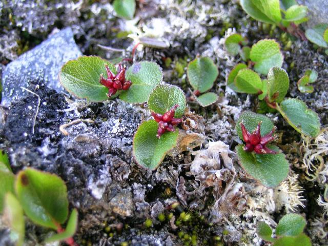 Salix herbacea sauce enano