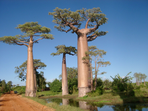 baobab madagascar arbol