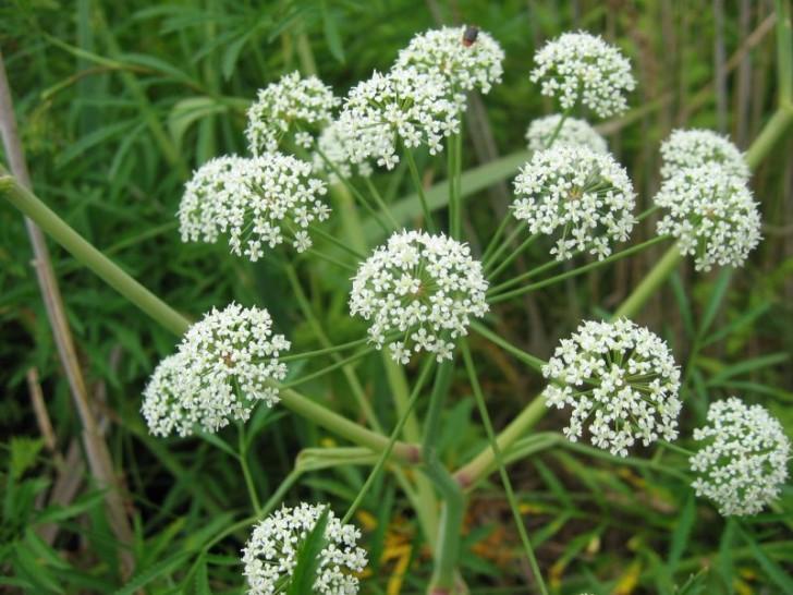 cicuta virosa planta flor