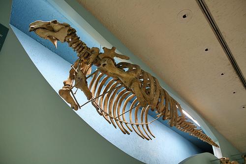 hydrodamalis-gigas-esqueleto